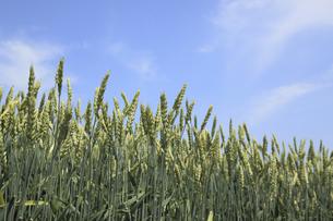 小麦の写真素材 [FYI04135485]