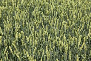 小麦の写真素材 [FYI04135486]