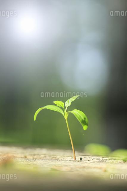 新芽と太陽の写真素材 [FYI04135505]