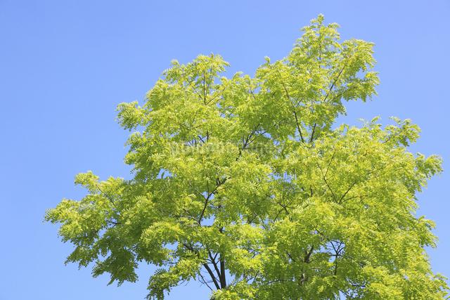 新緑と青空の写真素材 [FYI04135507]