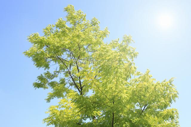 新緑と太陽の写真素材 [FYI04135509]