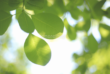 新緑の写真素材 [FYI04135513]