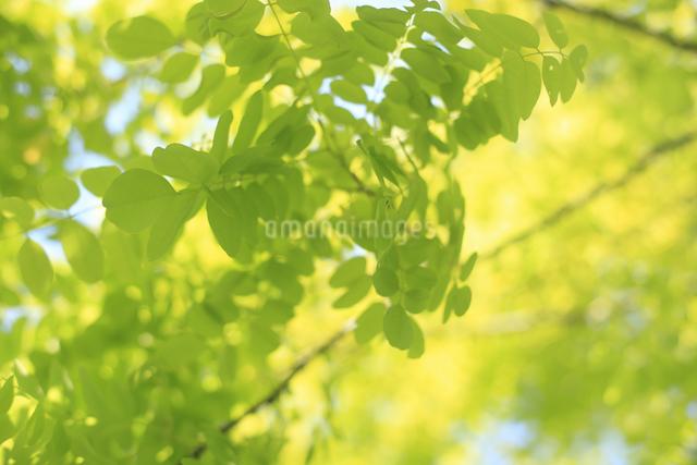 新緑の写真素材 [FYI04135516]