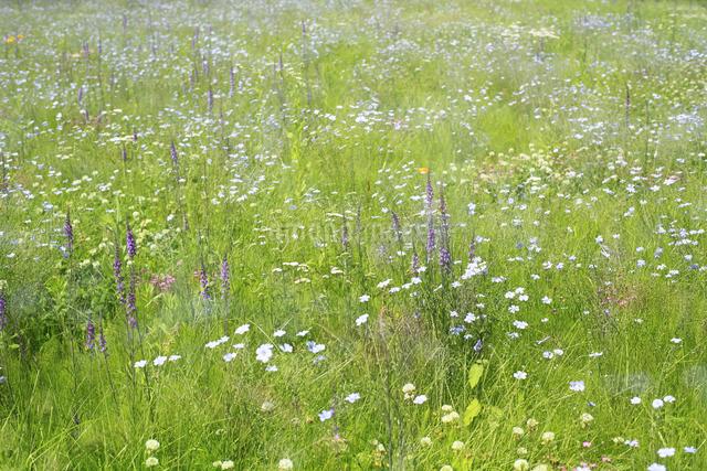 花咲く草原の写真素材 [FYI04135519]