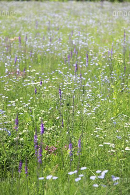 花咲く草原の写真素材 [FYI04135520]