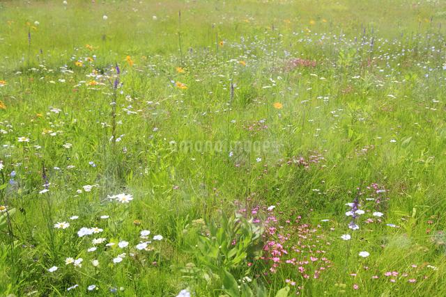 花咲く草原の写真素材 [FYI04135524]