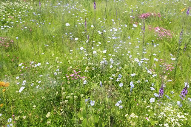 花咲く草原の写真素材 [FYI04135525]