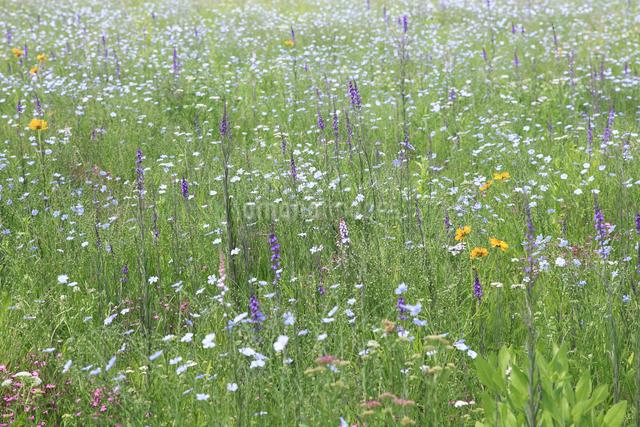 花咲く草原の写真素材 [FYI04135529]