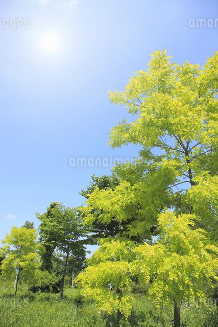 新緑と太陽の写真素材 [FYI04135535]