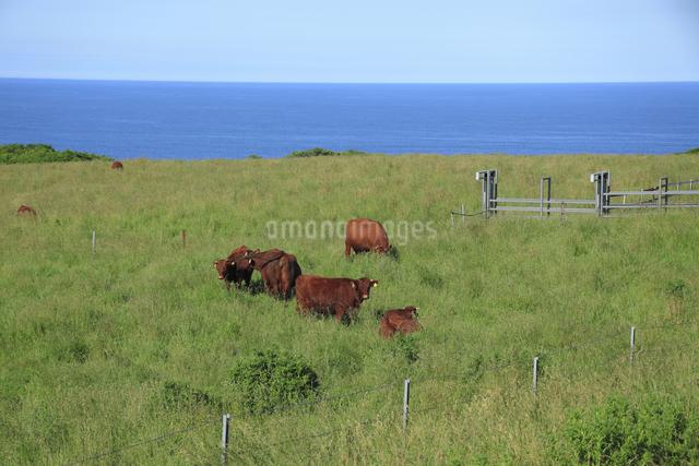 日本短角牛の写真素材 [FYI04135604]