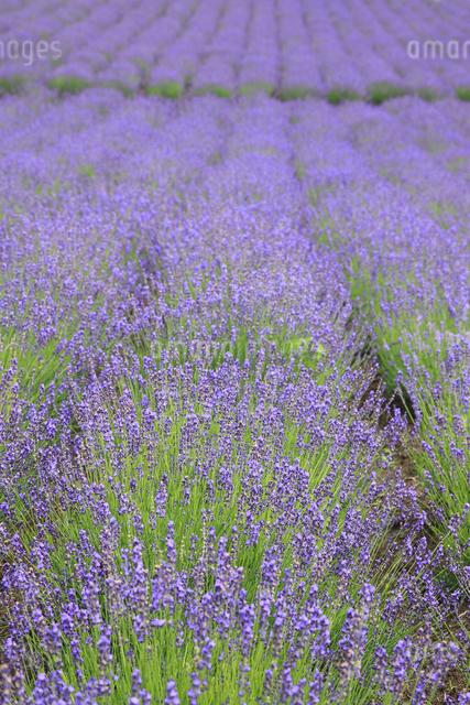 ラベンダー畑の写真素材 [FYI04135637]