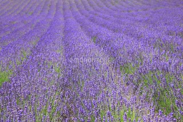 ラベンダー畑の写真素材 [FYI04135650]