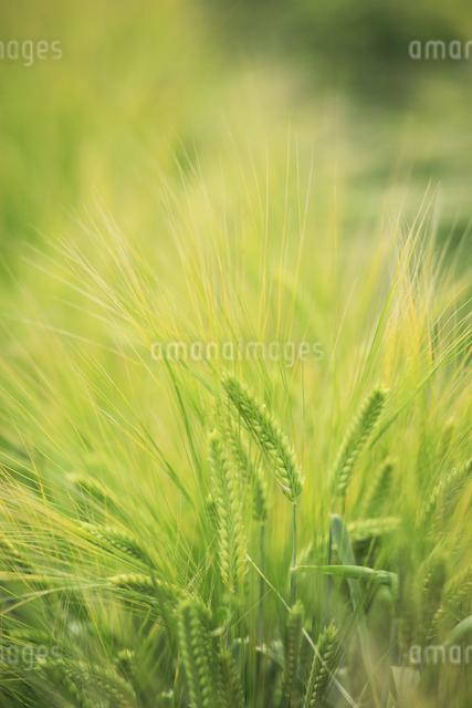 ビール大麦の写真素材 [FYI04135671]