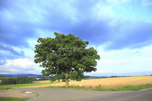 セブンスターの木の写真素材 [FYI04135704]