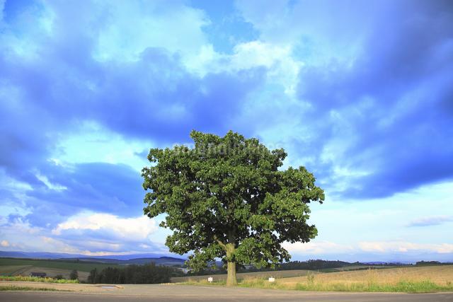 セブンスターの木の写真素材 [FYI04135705]