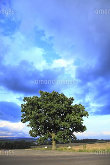 セブンスターの木の写真素材 [FYI04135706]