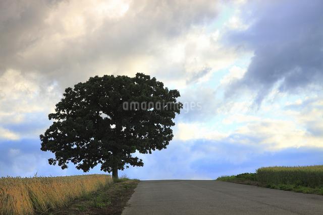 セブンスターの木の写真素材 [FYI04135708]