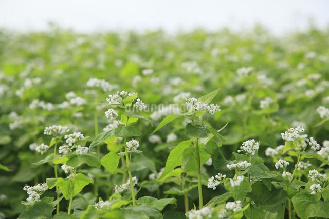 蕎麦畑の写真素材 [FYI04135714]