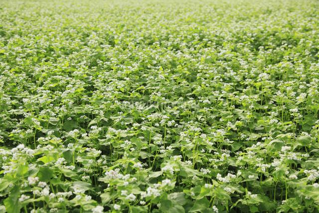 蕎麦畑の写真素材 [FYI04135715]
