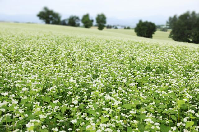 蕎麦畑の写真素材 [FYI04135716]