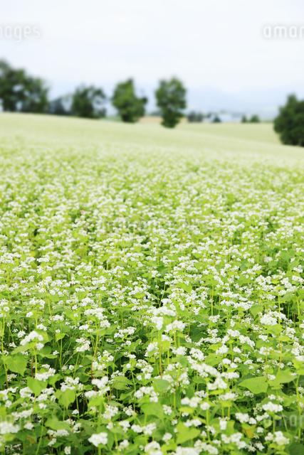 蕎麦畑の写真素材 [FYI04135717]