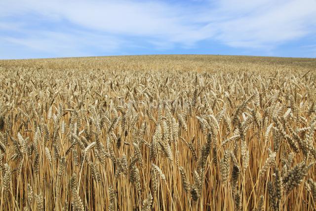 麦畑の写真素材 [FYI04135727]