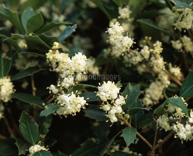 ヒイラギの花の写真素材 [FYI04135749]