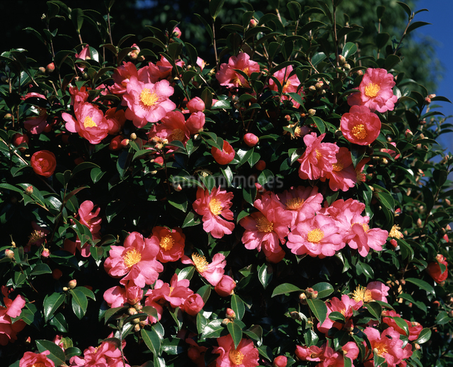 サザンカの花の写真素材 [FYI04135750]