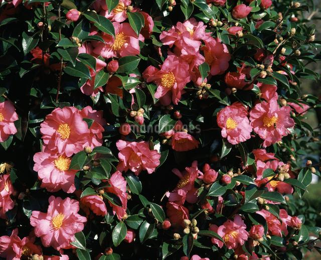 サザンカの花の写真素材 [FYI04135751]