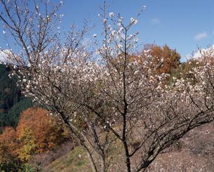 冬桜の写真素材 [FYI04135764]