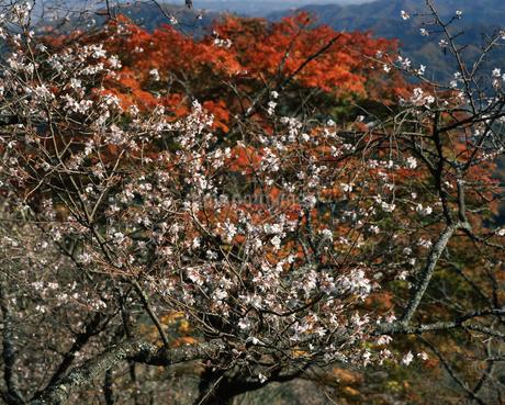 冬桜の写真素材 [FYI04135765]