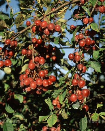 ヒメリンゴの写真素材 [FYI04135775]