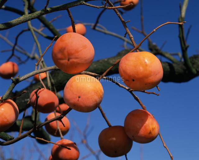 富有柿の写真素材 [FYI04135776]