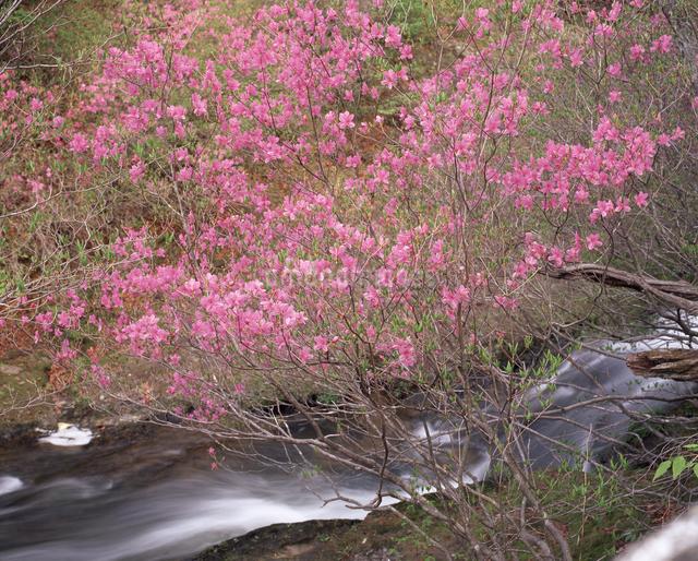 トウゴクミツバツツジと竜頭ノ滝の写真素材 [FYI04135799]