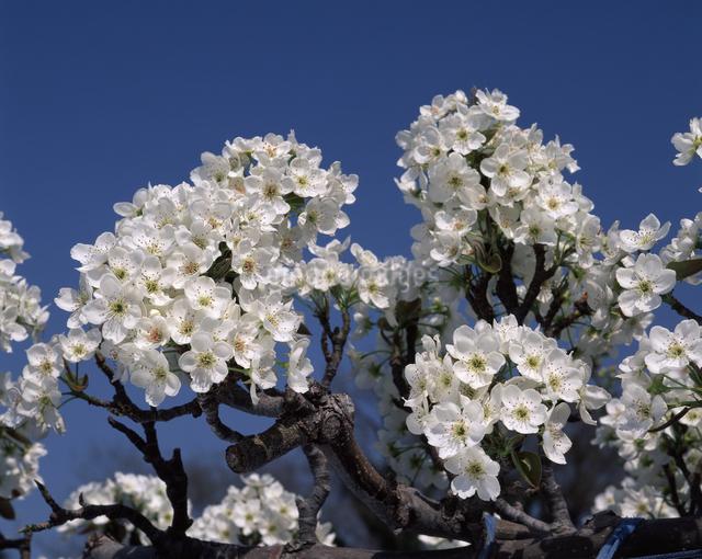 ナシの花(新高)の写真素材 [FYI04135839]