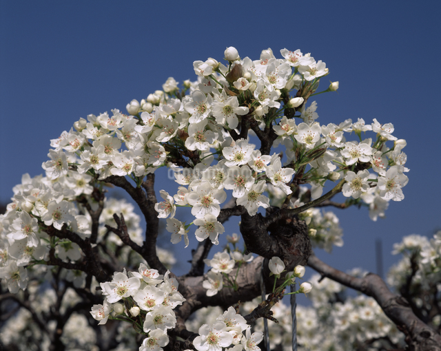 ナシの花(新高)の写真素材 [FYI04135840]