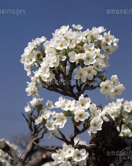 ナシの花(新高)の写真素材 [FYI04135841]