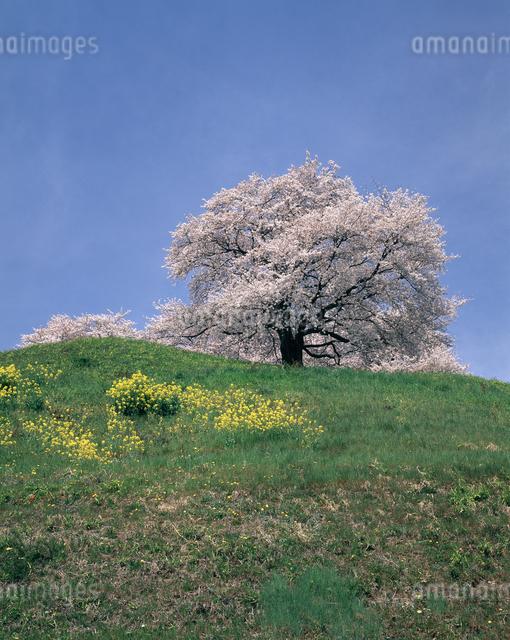 桜(丸墓山古墳)の写真素材 [FYI04135842]