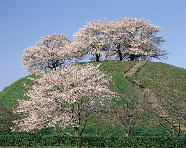 桜(丸墓山古墳)の写真素材 [FYI04135843]