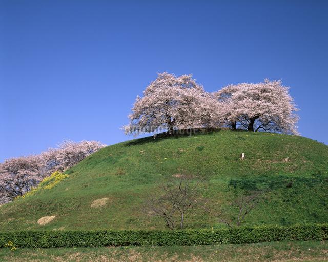 桜(丸墓山古墳)の写真素材 [FYI04135846]