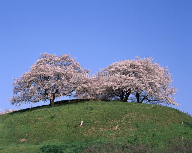 桜(丸墓山古墳)の写真素材 [FYI04135848]
