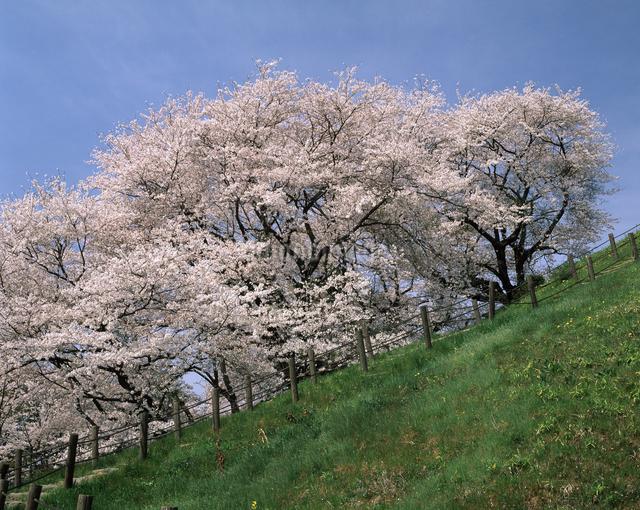 桜(丸墓山古墳)の写真素材 [FYI04135849]