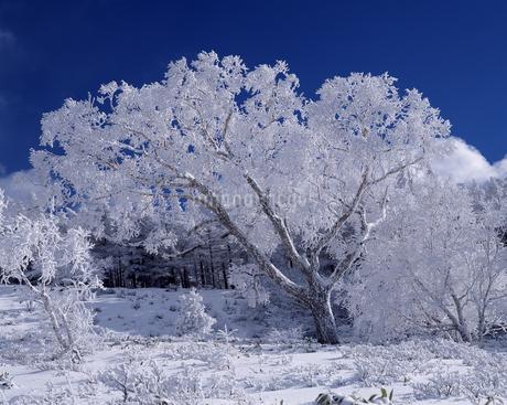 霧氷付くダケカンバの写真素材 [FYI04135855]