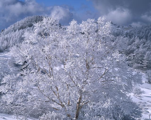 霧氷付くダケカンバの写真素材 [FYI04135857]