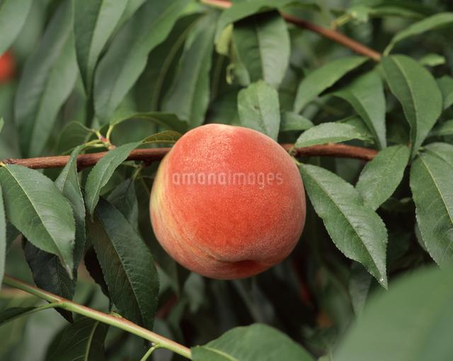 桃の写真素材 [FYI04135870]