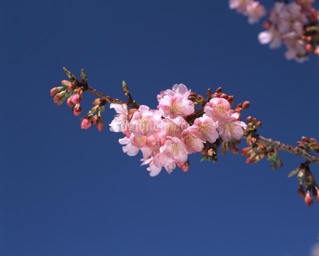 河津桜の写真素材 [FYI04135901]