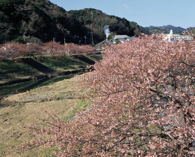 みなみの桜の写真素材 [FYI04135904]