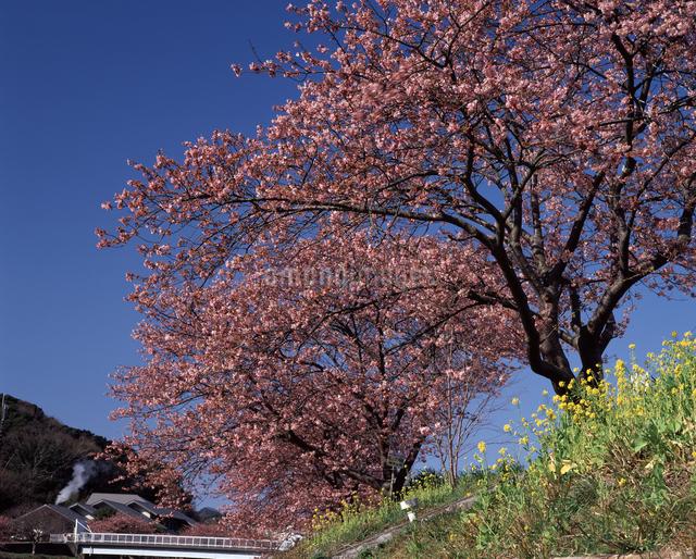 みなみの桜の写真素材 [FYI04135905]