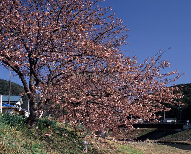 みなみの桜の写真素材 [FYI04135906]
