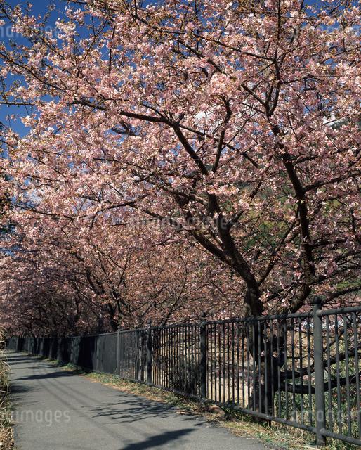 河津桜の写真素材 [FYI04135909]